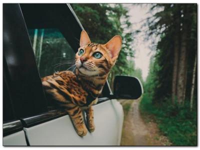 Как перевозить кошку в машине: подготовка и транспортировка