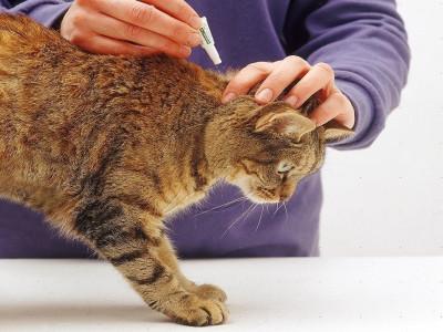 Как правильно капать кошке капли от блох?