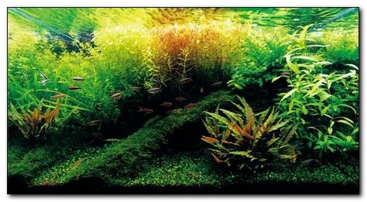 черные водоросли в аквариуме