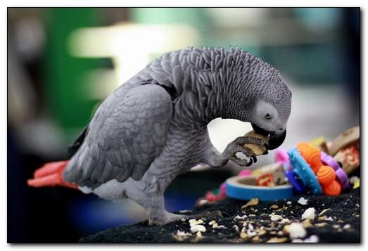 Чем можно кормить попугаев