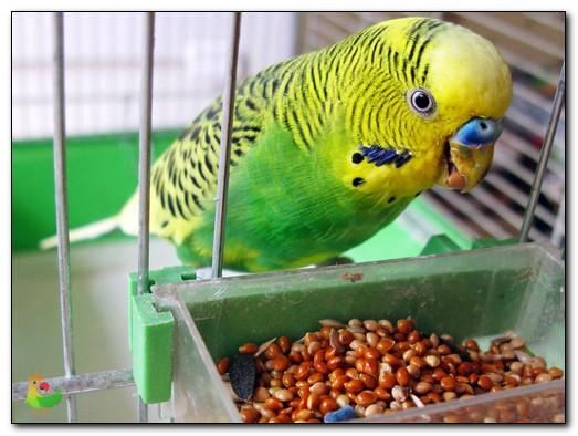 Что едят попугаи в домашних условиях