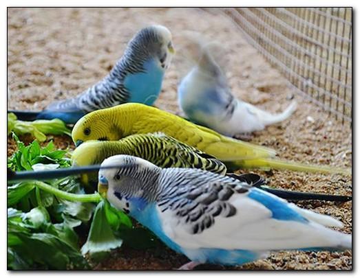 Чем нельзя кормить попугаев