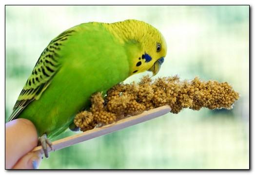 Что полезно для волнистых попугаев?