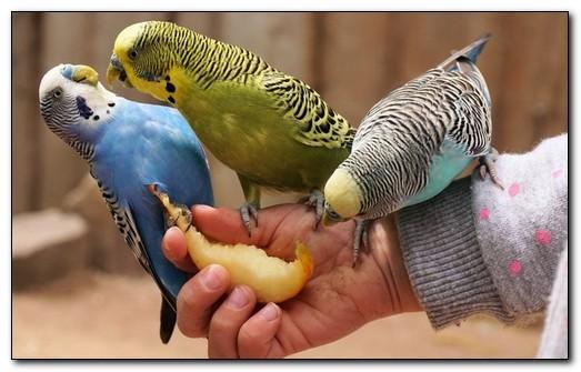Что едят волнистые попугаи в домашних условиях
