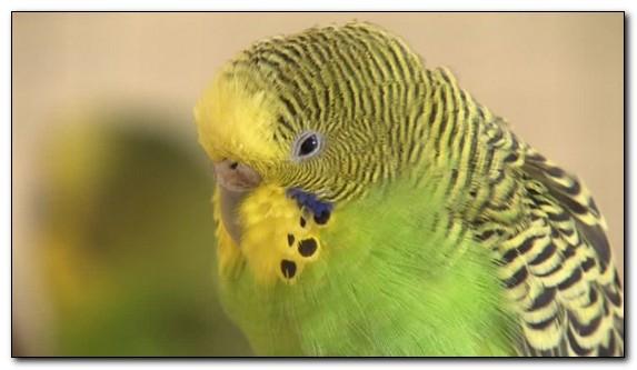 Недостаток витаминов у попугаев